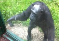 Fiksu Simpanssi