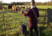 Basisti viihdyttää Lehmiä