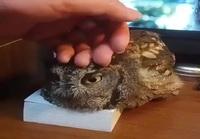 Needy owl