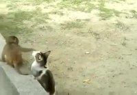 Apina leikki kissan kanssa