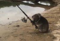 Koala kalastaa