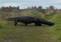 Jättimäinen alligaattori ylittää tien