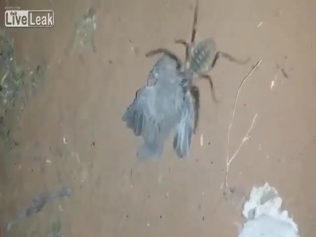Hämähäkki syö linnun